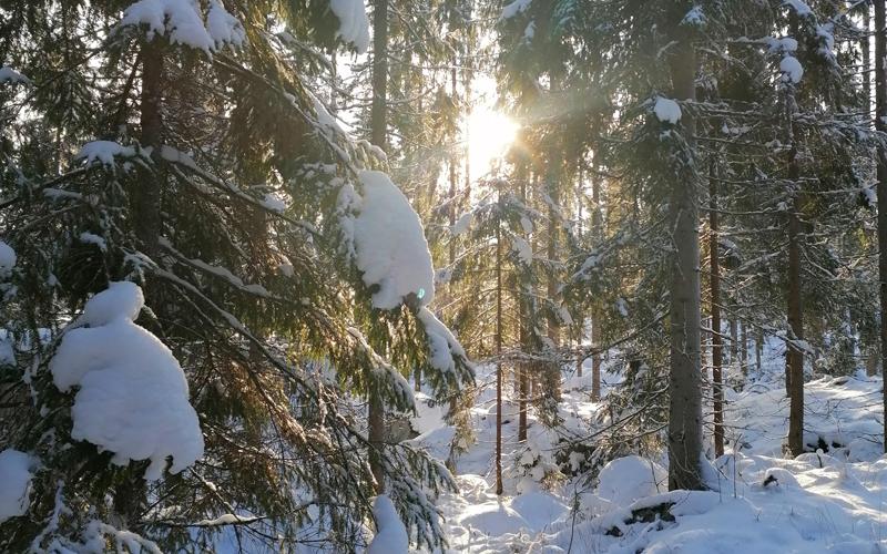 Talviauringon säteet siivilöityvät metsän läpi.